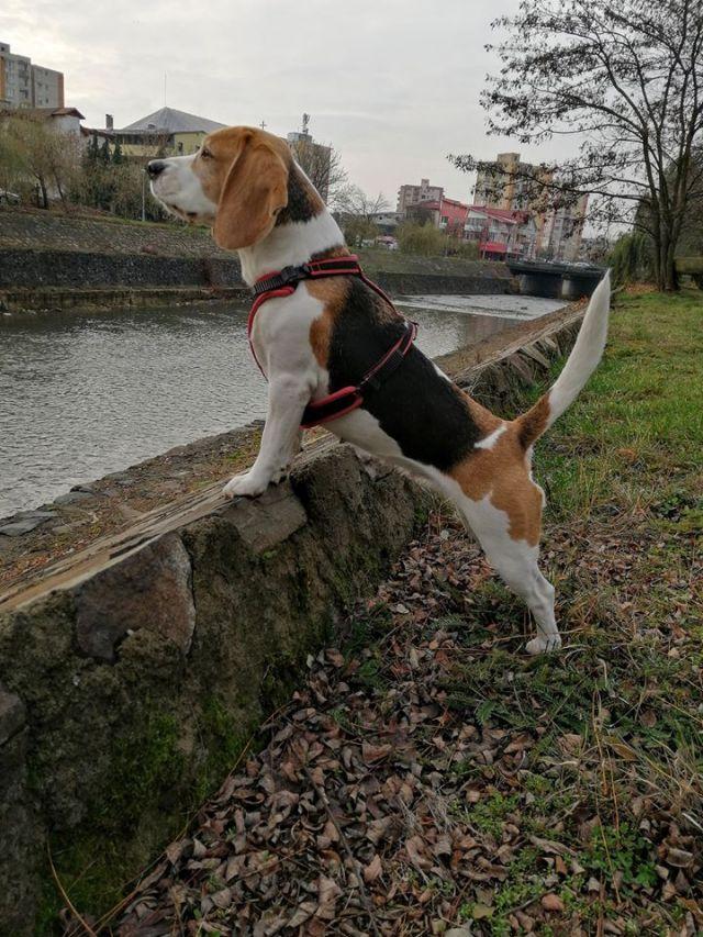 beagle gras pierde din greutate